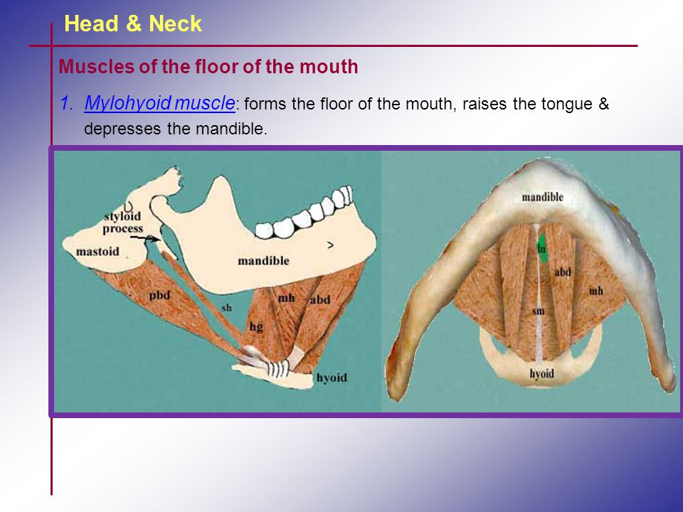 Head & Neck Muscles of the floor of the mouth