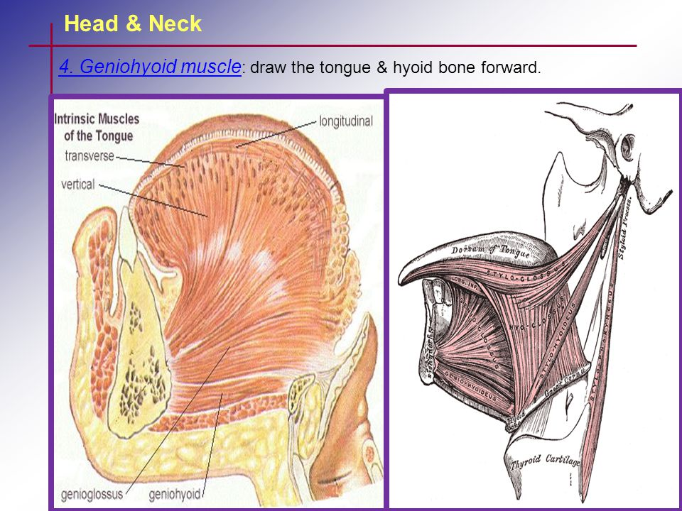 Head & Neck 4. Geniohyoid muscle: draw the tongue & hyoid bone forward.