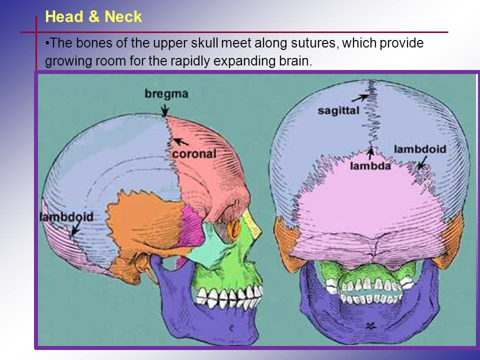 Head & Neck The bones of the upper skull meet along sutures, which provide growing room for the rapidly expanding brain.