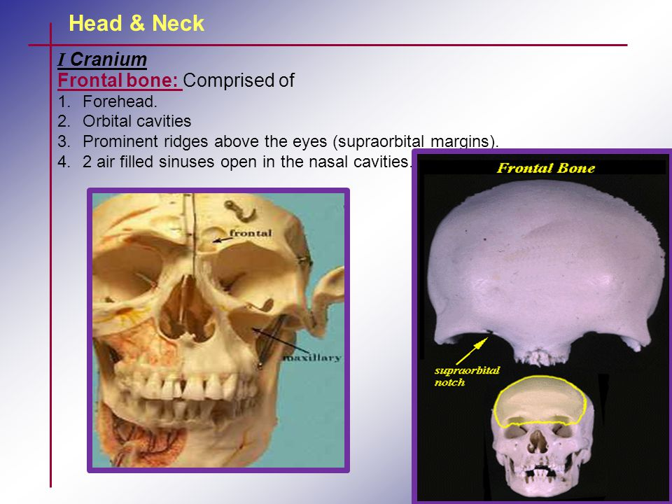 Head & Neck I Cranium Frontal bone: Comprised of Forehead.