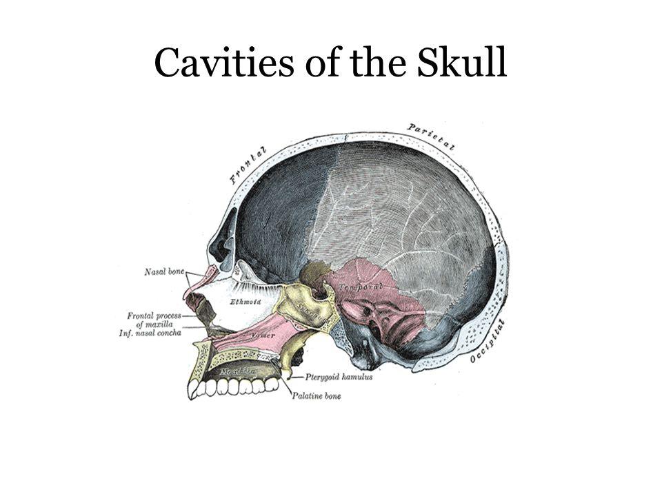 Cavities of the Skull