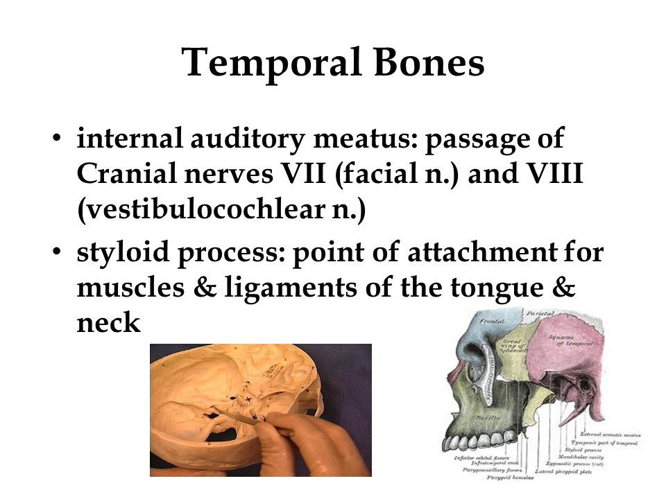 Temporal Bones internal auditory meatus: passage of Cranial nerves VII (facial n.) and VIII (vestibulocochlear n.)