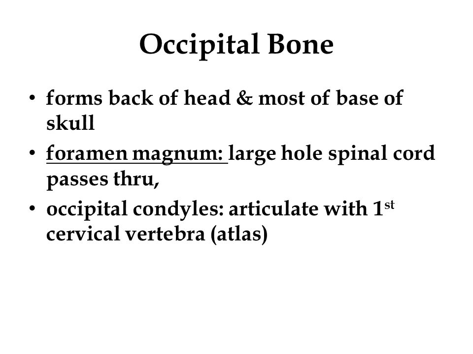 Occipital Bone forms back of head & most of base of skull