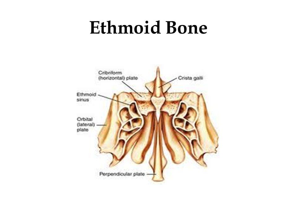 Ethmoid Bone