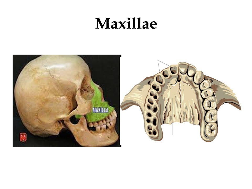 Maxillae