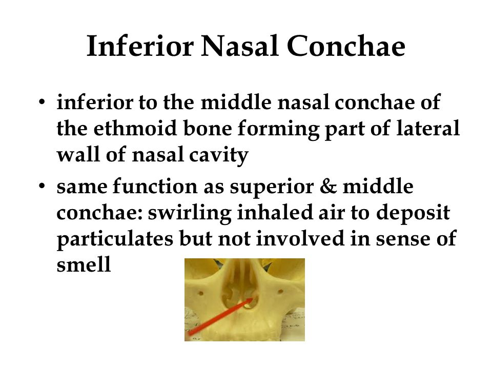 Honors anatomy for copy ppt video online download for Floor of nasal cavity