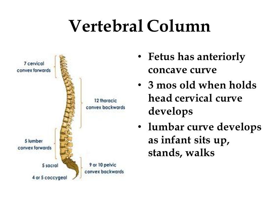 Vertebral Column Fetus has anteriorly concave curve