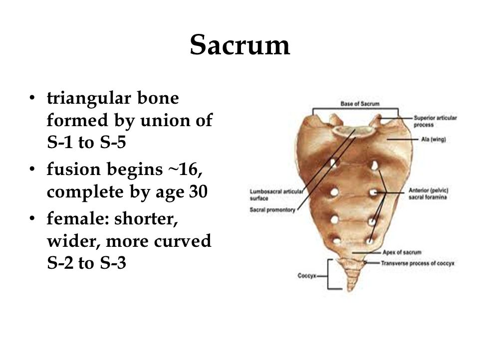 Sacrum triangular bone formed by union of S-1 to S-5