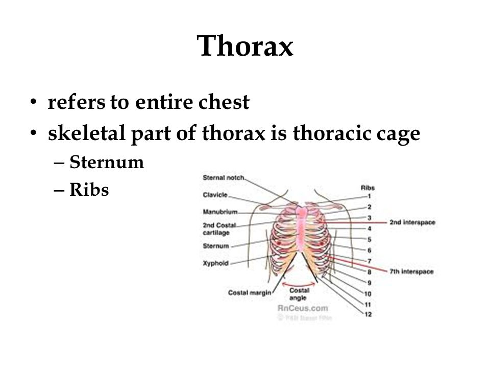 Thorax refers to entire chest skeletal part of thorax is thoracic cage