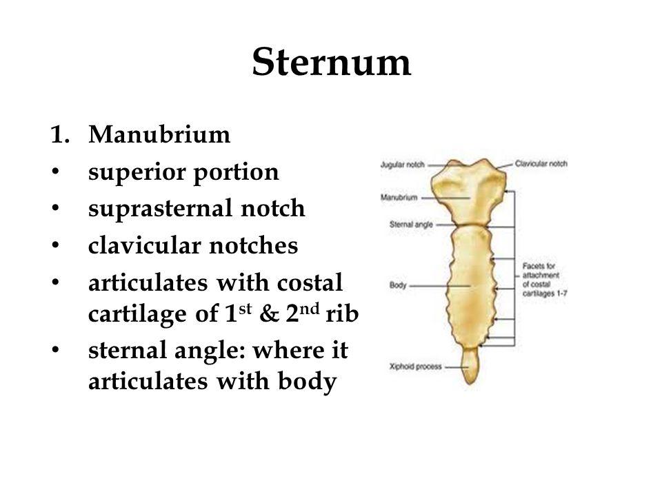 Sternum Manubrium superior portion suprasternal notch