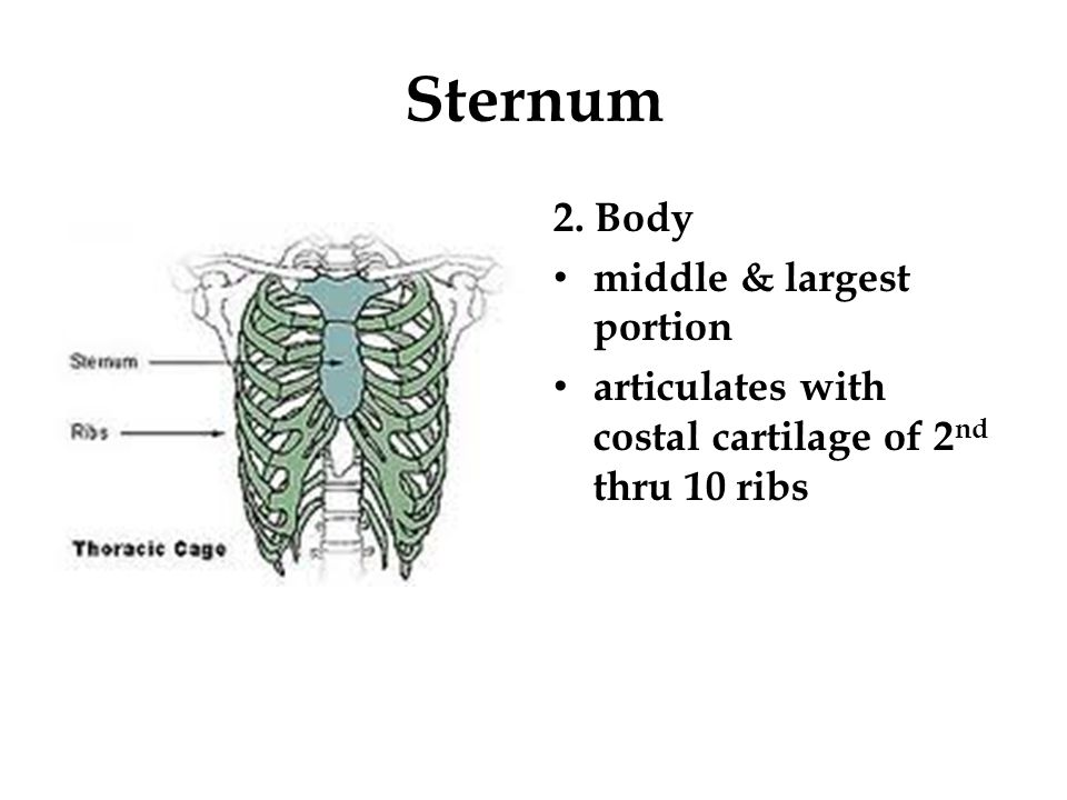Sternum 2. Body middle & largest portion