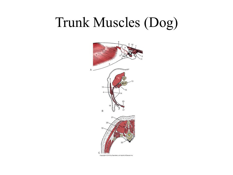 Trunk Muscles (Dog)