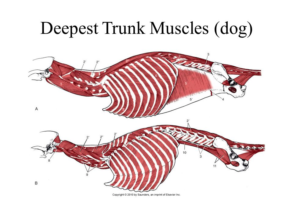 Deepest Trunk Muscles (dog)