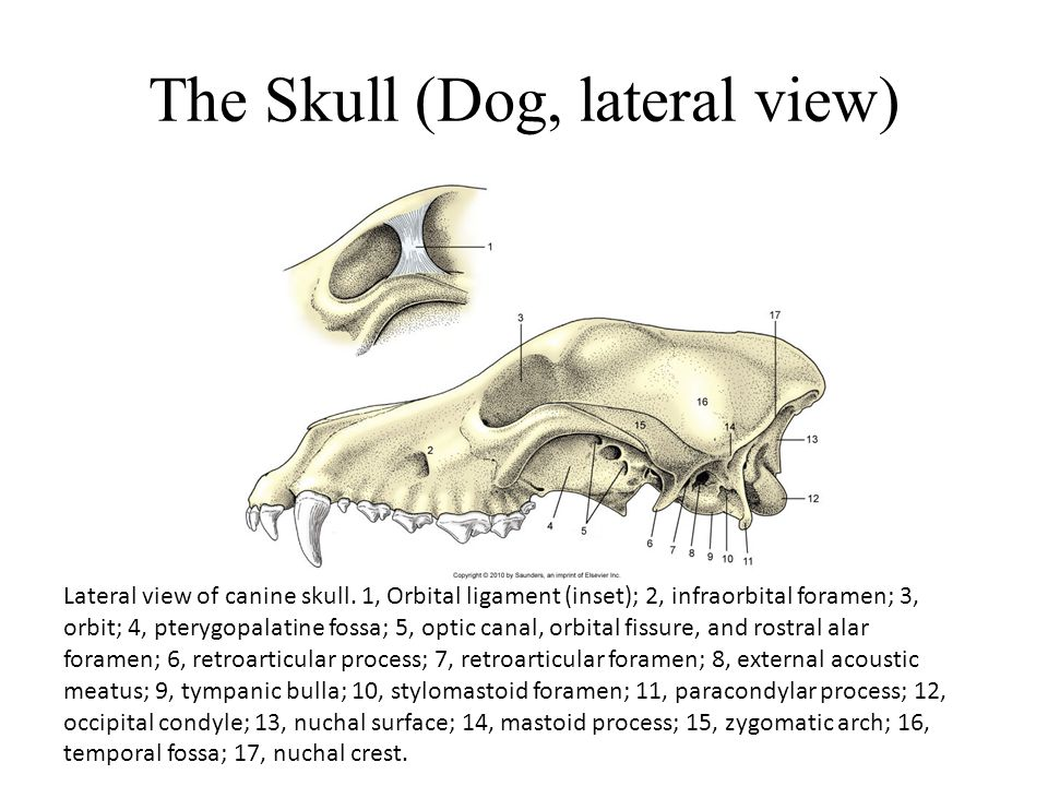 The Skull (Dog, lateral view)