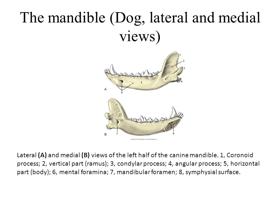 The mandible (Dog, lateral and medial views)