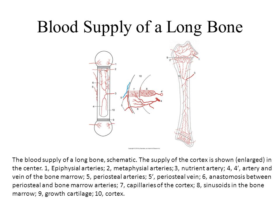Blood Supply of a Long Bone