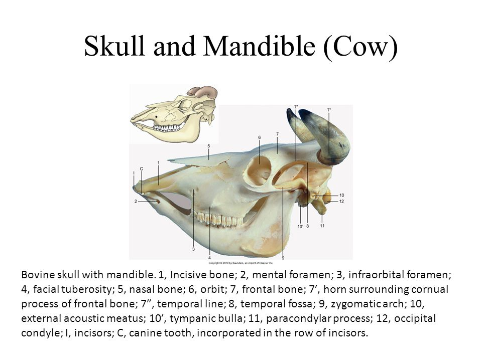 Skull and Mandible (Cow)