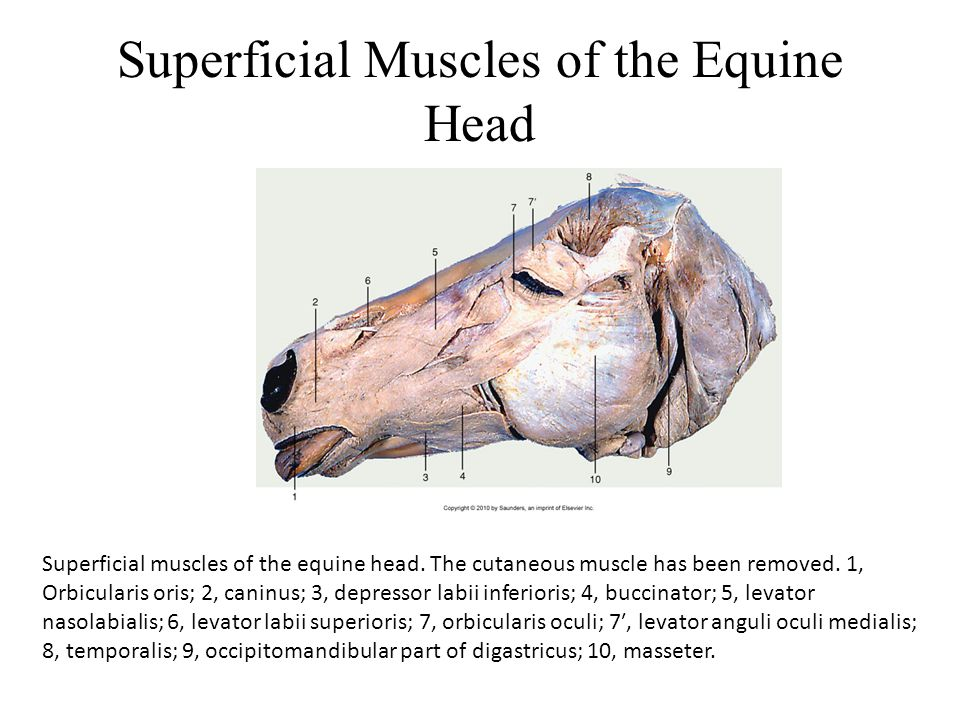 Superficial Muscles of the Equine Head