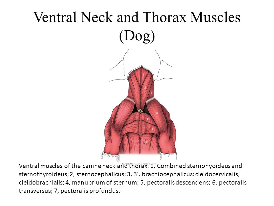 Ventral Neck and Thorax Muscles (Dog)