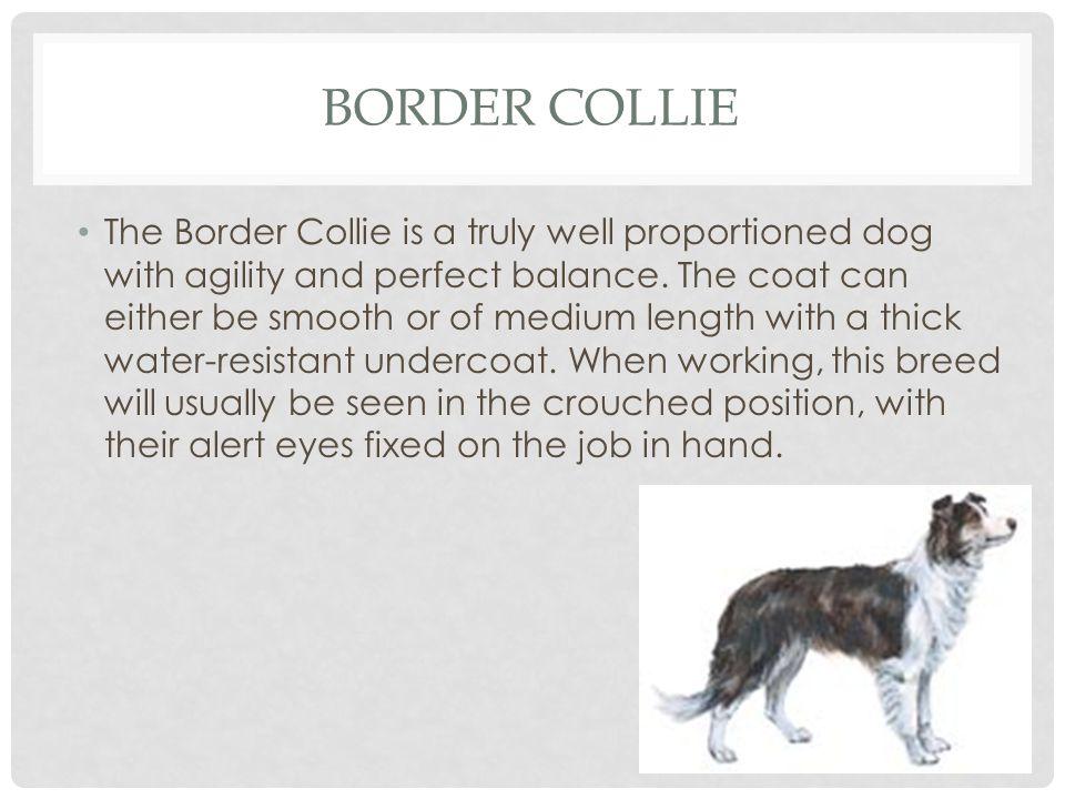 Border Collie