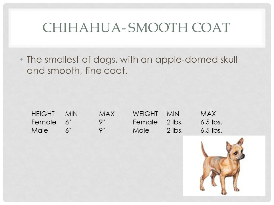 Chihahua- Smooth Coat The smallest of dogs, with an apple-domed skull and smooth, fine coat. HEIGHT.