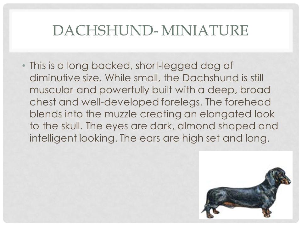 Dachshund- Miniature