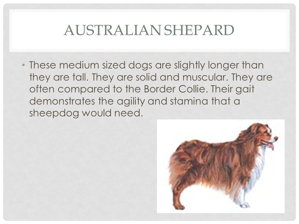 Australian Shepard
