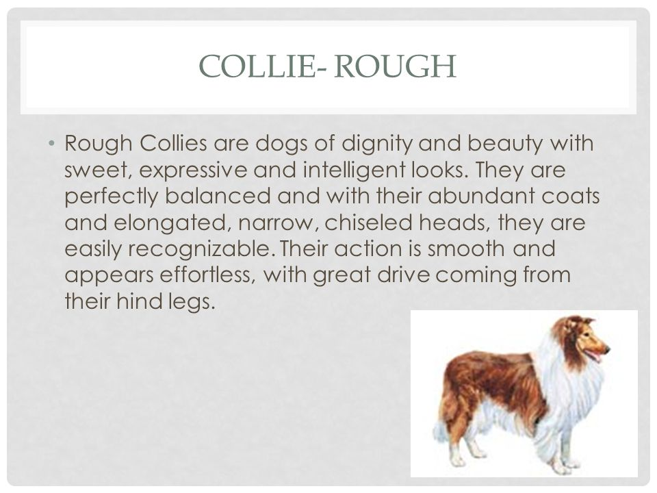 Collie- Rough