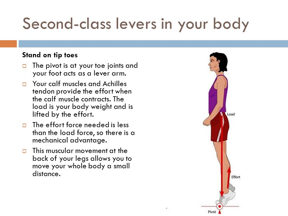 Second-class levers in your body