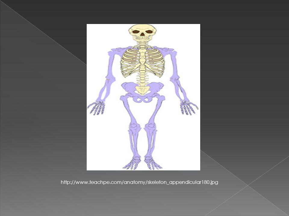 http://www.teachpe.com/anatomy/skeleton_appendicular180.jpg