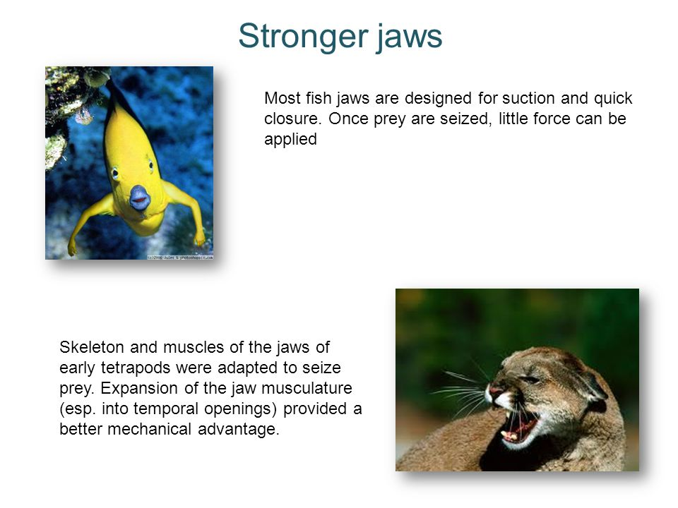 Stronger jaws Most fish jaws are designed for suction and quick closure. Once prey are seized, little force can be applied.