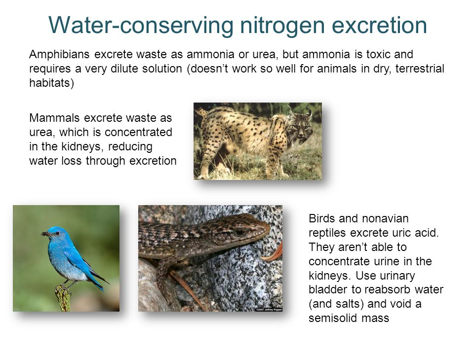 Water-conserving nitrogen excretion