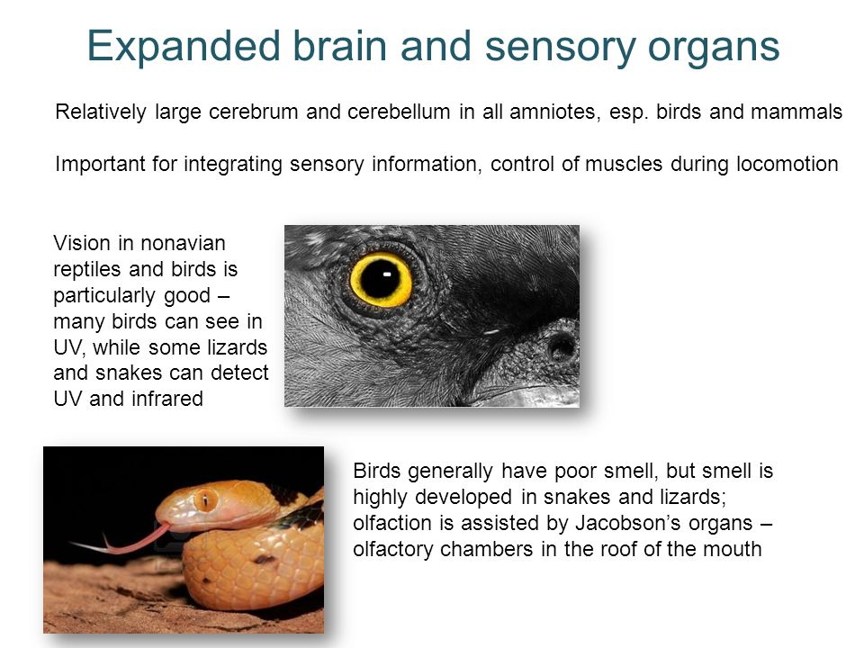 Expanded brain and sensory organs