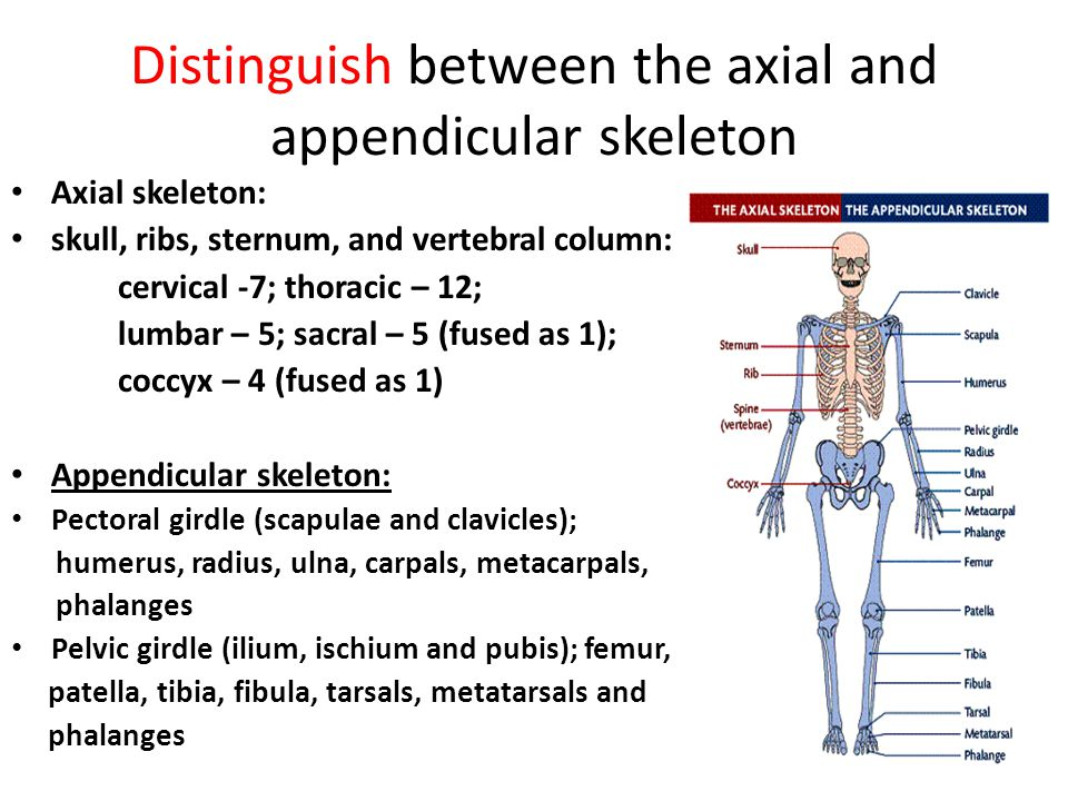 Distinguish between the axial and appendicular skeleton
