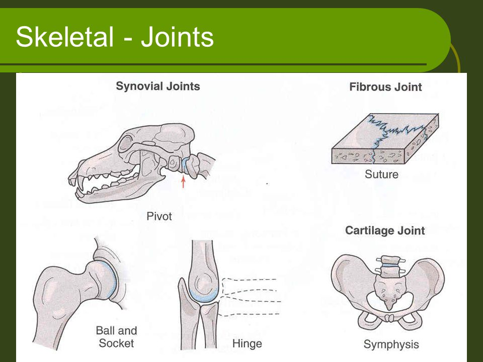 Skeletal - Joints