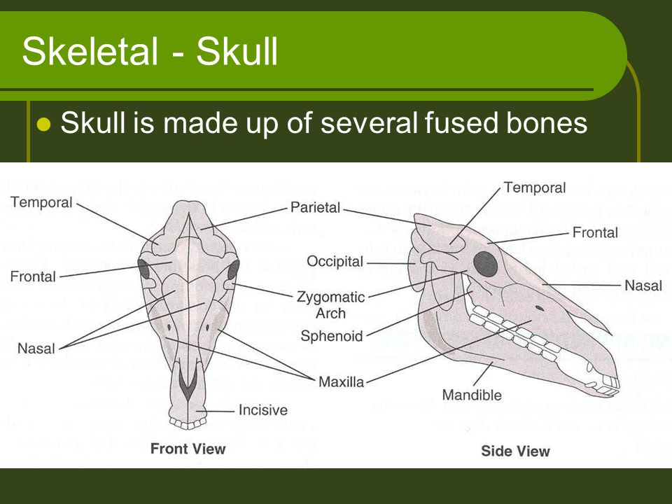 Skeletal - Skull Skull is made up of several fused bones