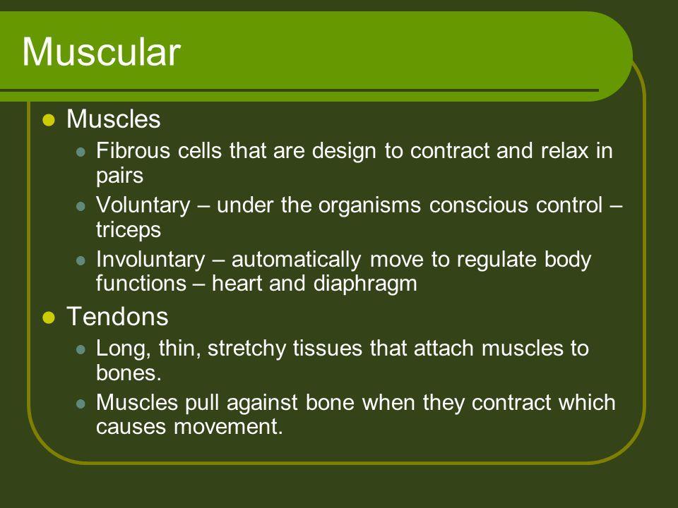 Muscular Muscles Tendons