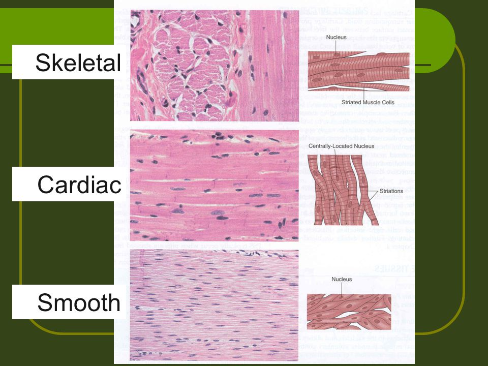 Skeletal Cardiac Smooth