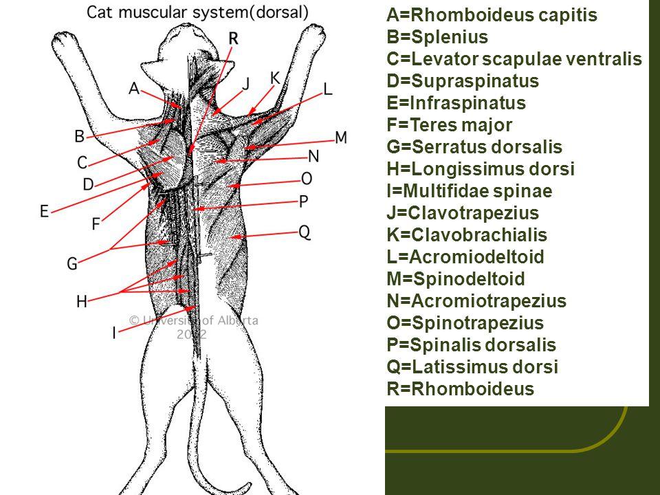 A=Rhomboideus capitis B=Splenius C=Levator scapulae ventralis D=Supraspinatus E=Infraspinatus F=Teres major G=Serratus dorsalis H=Longissimus dorsi I=Multifidae spinae J=Clavotrapezius K=Clavobrachialis L=Acromiodeltoid M=Spinodeltoid N=Acromiotrapezius O=Spinotrapezius P=Spinalis dorsalis Q=Latissimus dorsi R=Rhomboideus