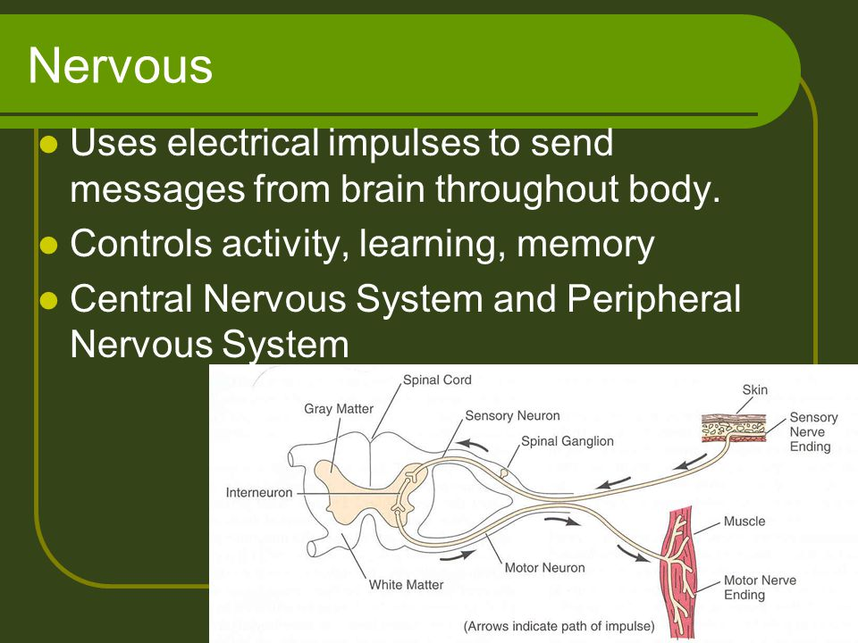 Nervous Uses electrical impulses to send messages from brain throughout body. Controls activity, learning, memory.