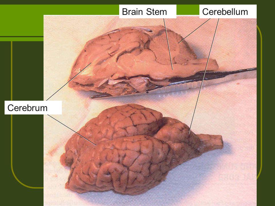 Brain Stem Cerebellum Cerebrum
