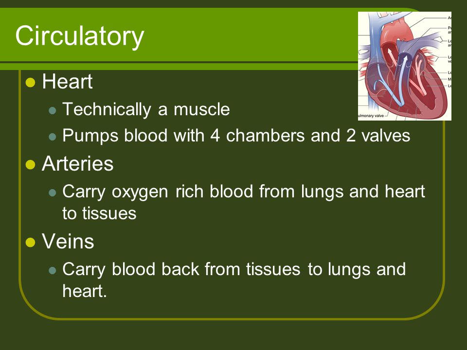 Circulatory Heart Arteries Veins Technically a muscle