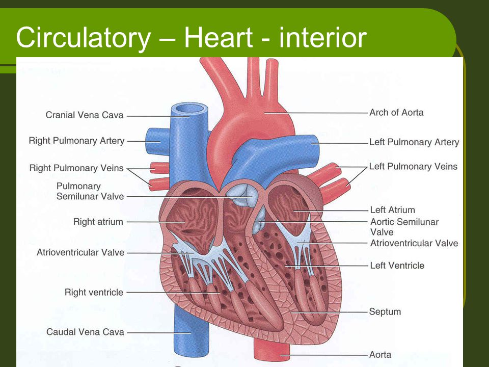 Circulatory – Heart - interior