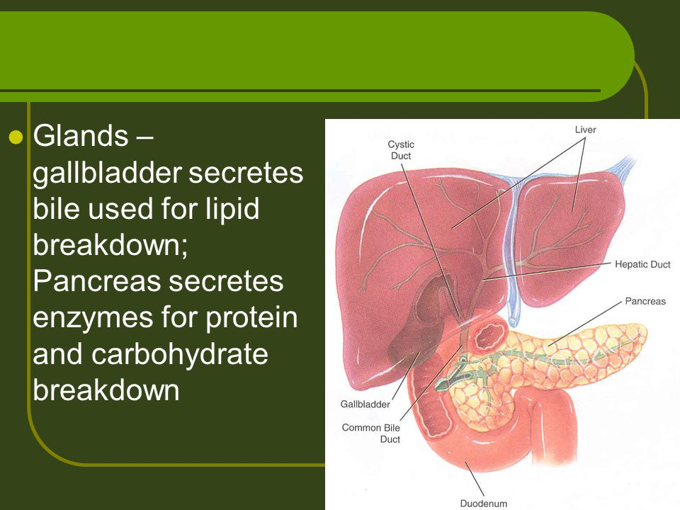 Glands – gallbladder secretes bile used for lipid breakdown; Pancreas secretes enzymes for protein and carbohydrate breakdown