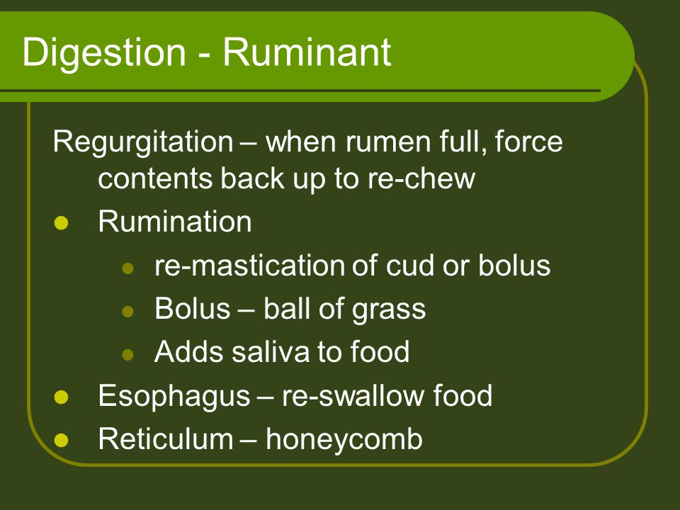 Digestion - Ruminant Regurgitation – when rumen full, force contents back up to re-chew. Rumination.