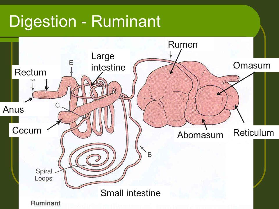 Digestion - Ruminant Rumen Large intestine Omasum Rectum Anus Cecum