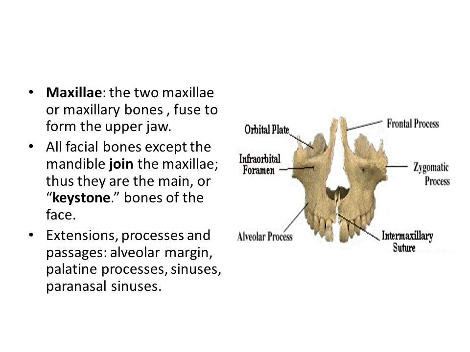 Maxillae: the two maxillae or maxillary bones , fuse to form the upper jaw.