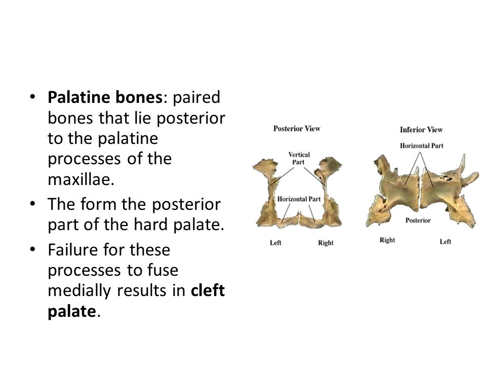 Palatine bones: paired bones that lie posterior to the palatine processes of the maxillae.