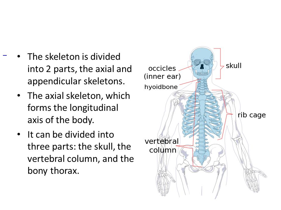 axial skeleton. - ppt download, Skeleton