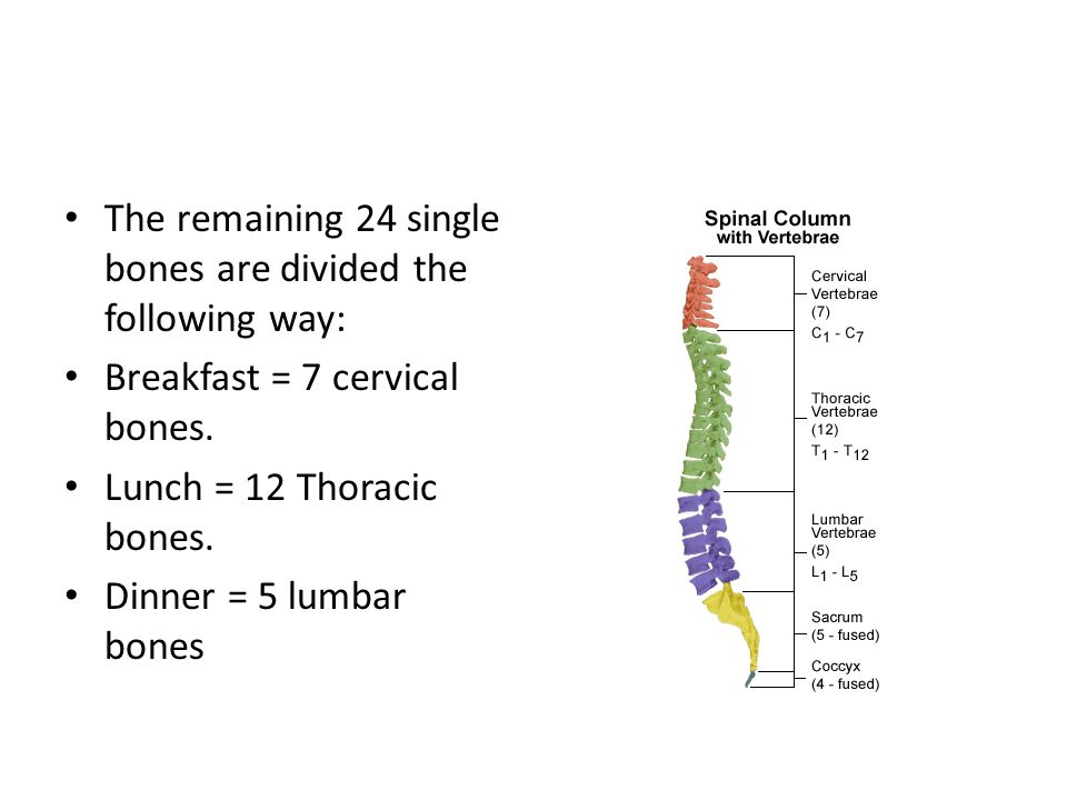 The remaining 24 single bones are divided the following way:
